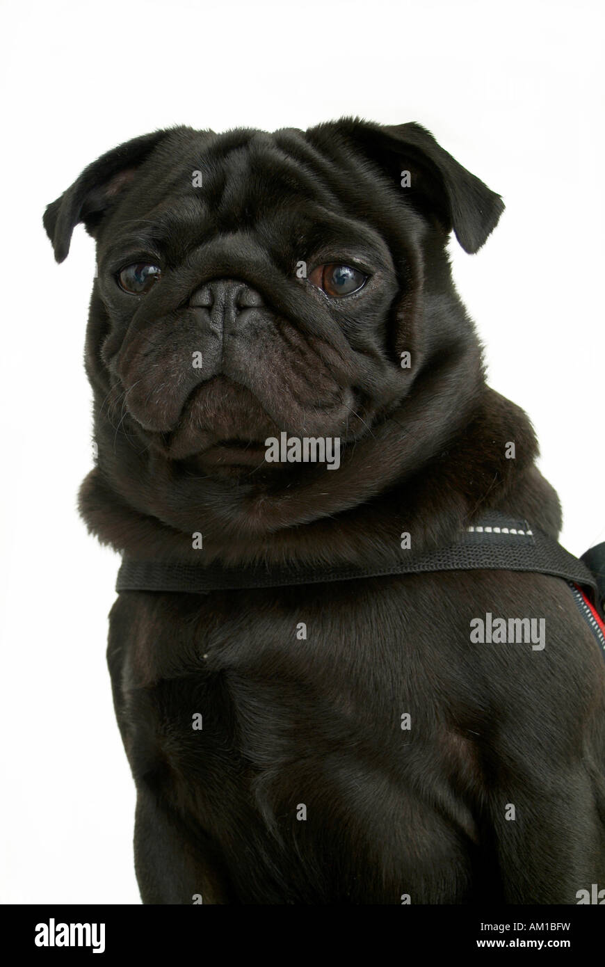 Portrait of a black pug - Stock Image