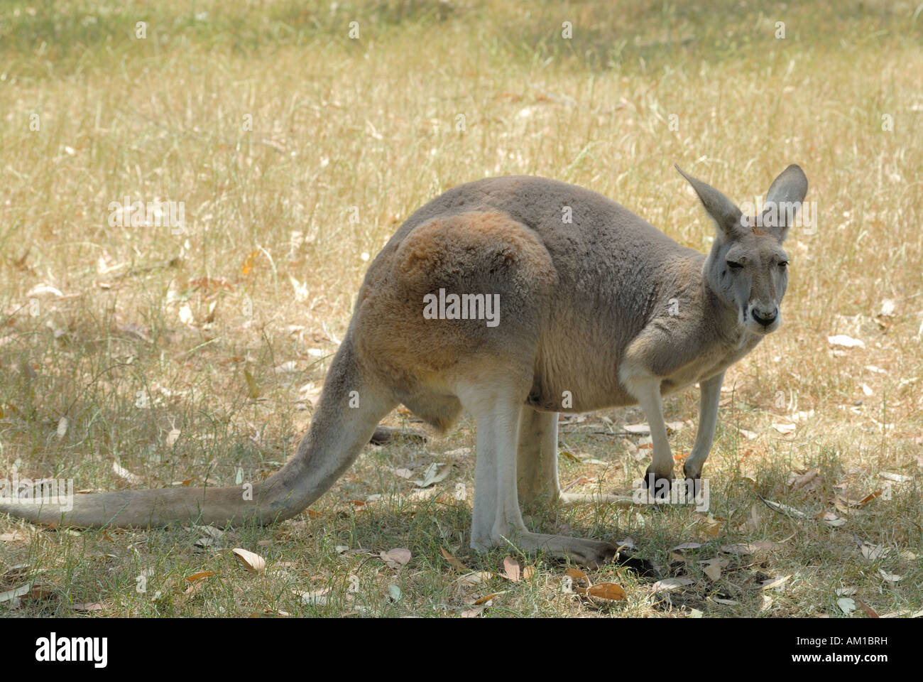 Kangaroo In The Cleland Wildlife Park Adelaide Hills South Stock
