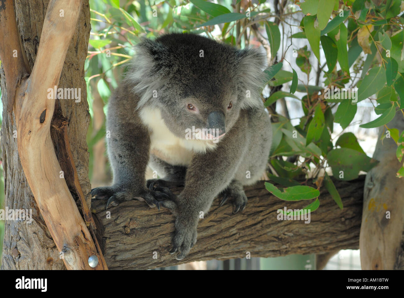 Cleland Wildlife Park Koala Adelaide Hills South Australia Stock