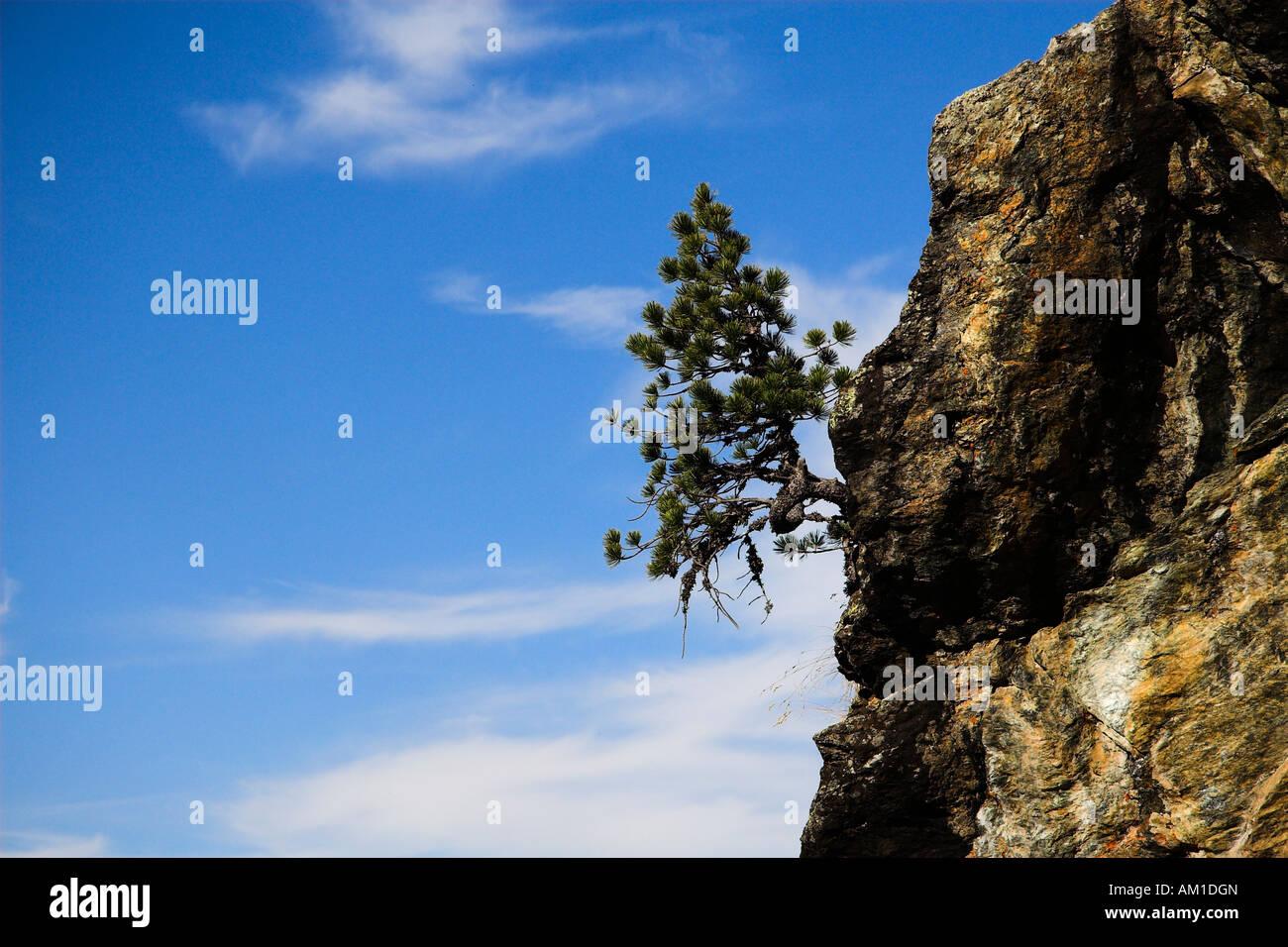 Mountain pine (Pinus mugo) on granite wall - Stock Image