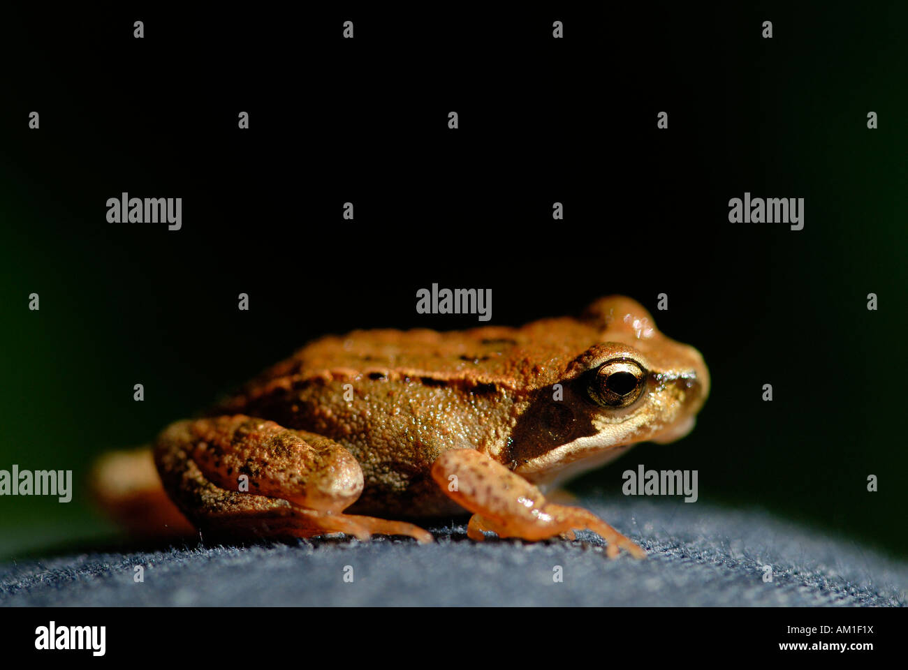 Young common frog (Rana temporaria) - Germany, Europe. - Stock Image