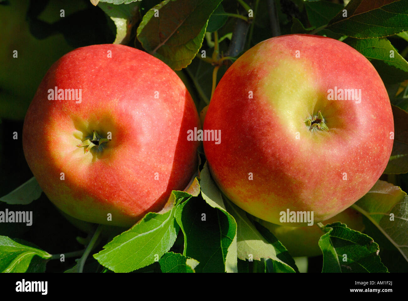 Red apples on a tree (Malus domestica) - Germany, Europe. Stock Photo