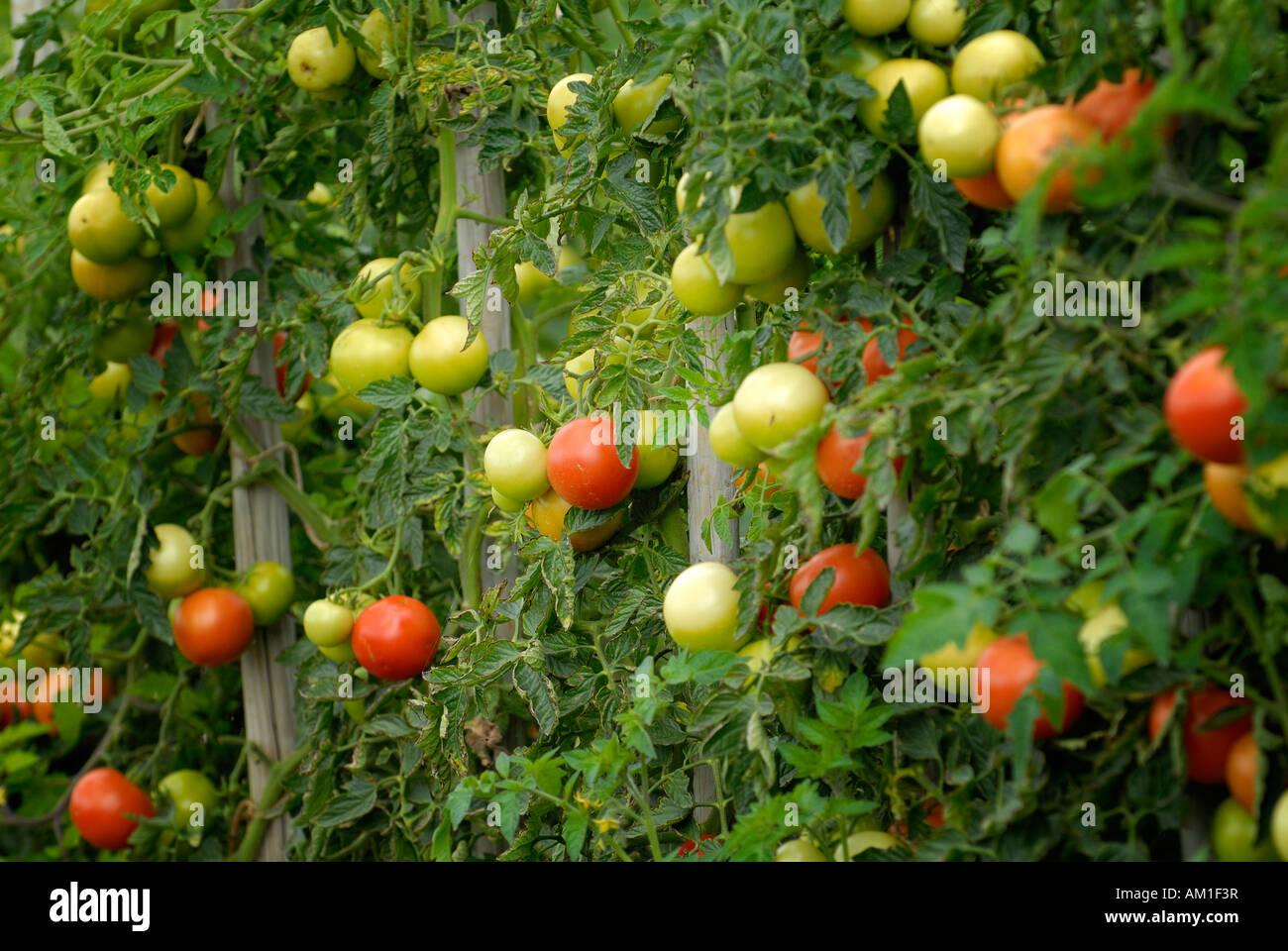 Unripe and ripe tomatoes (Solanum lycopersicum) - Germany, Europe. - Stock Image