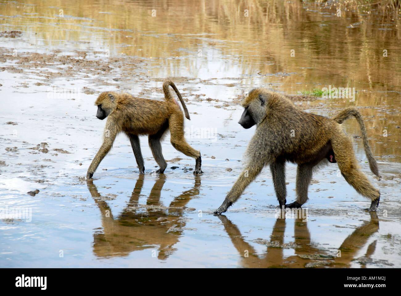 Two Olive Baboons (Papio anubis) wade through shallow water Tarangire National Park Tanzania Stock Photo