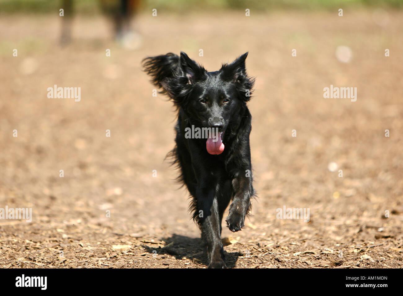 Labrador retriever obedient - Stock Image