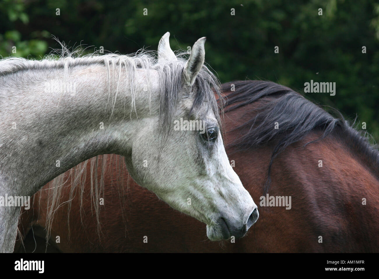 Old horse (Equus ferus caballus) Stock Photo