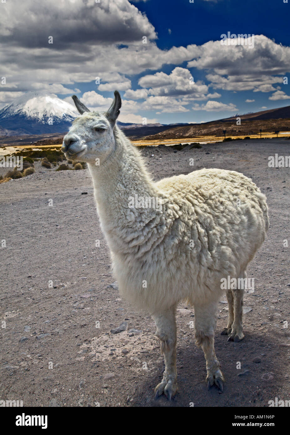 White Llama with Volcano Parinacota in the background.  Lauca National Park, Chile. Stock Photo