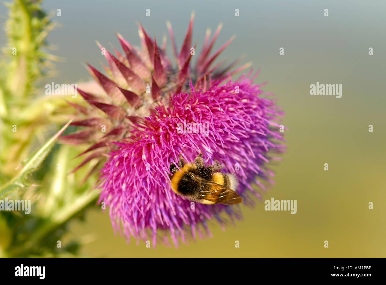 Musk thistle or Nodding thistle (Carduus nutans), the flower of the year 2008 - Germany, Europe - Stock Image