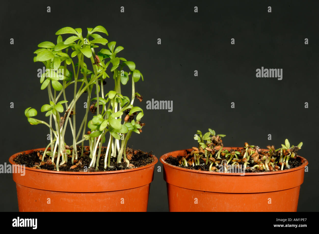 Comparison of cress seedlings grown in normal and cold temperatures - Stock Image