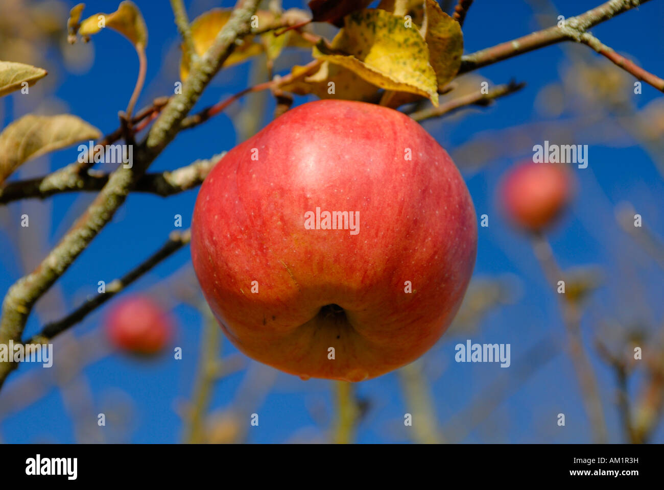 A mature apple on an apple tree Stock Photo