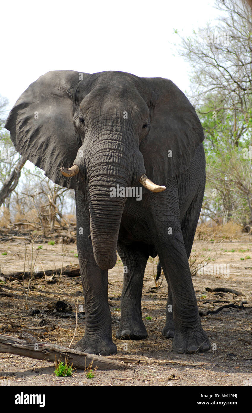 African Elephant bull, Loxodonta africana, preparing to charge, East Africa Stock Photo