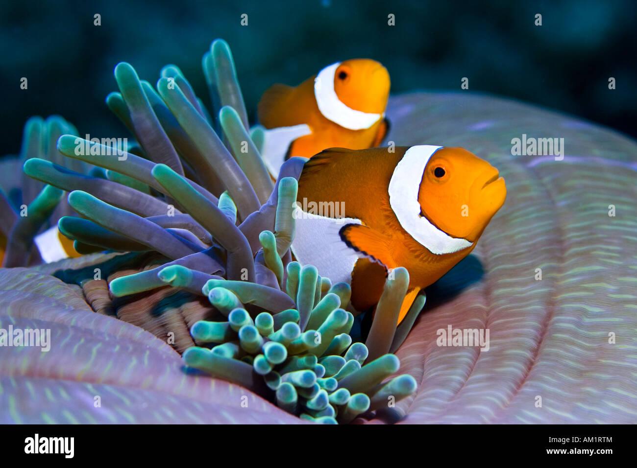 False anemonefish or Clownfish Amphiprion ocellaris. - Stock Image