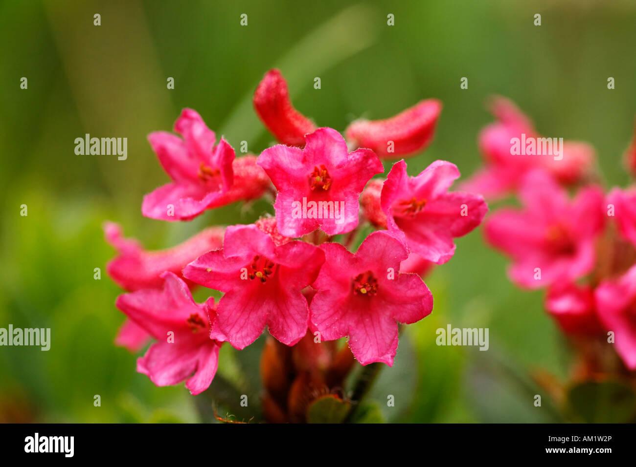 Alpenrose, snow-rose, Rhododendron hirsutum, Alps - Stock Image