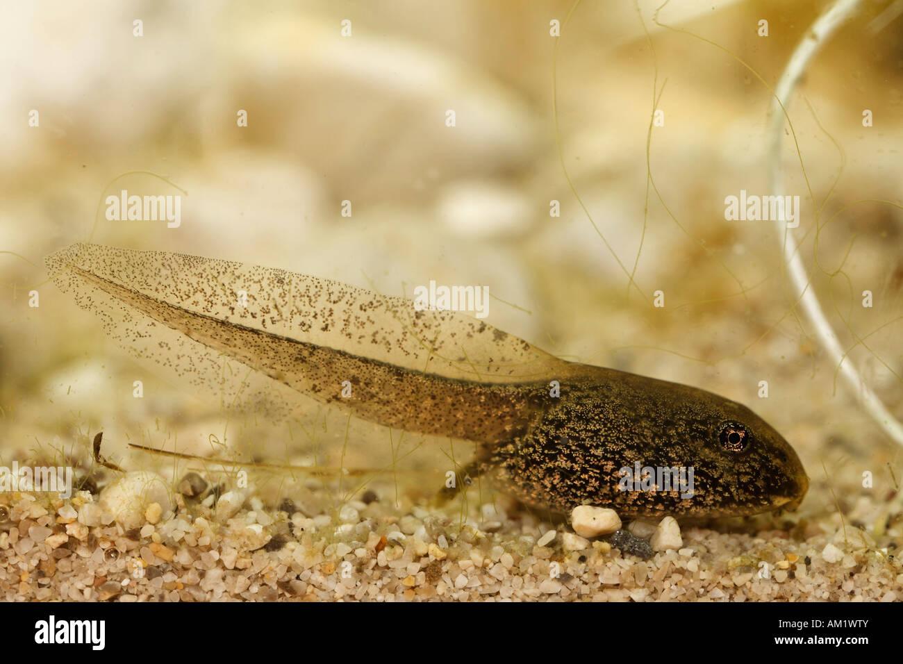 Tadpole of European Common Brown Frog, Rana temporaria - Stock Image