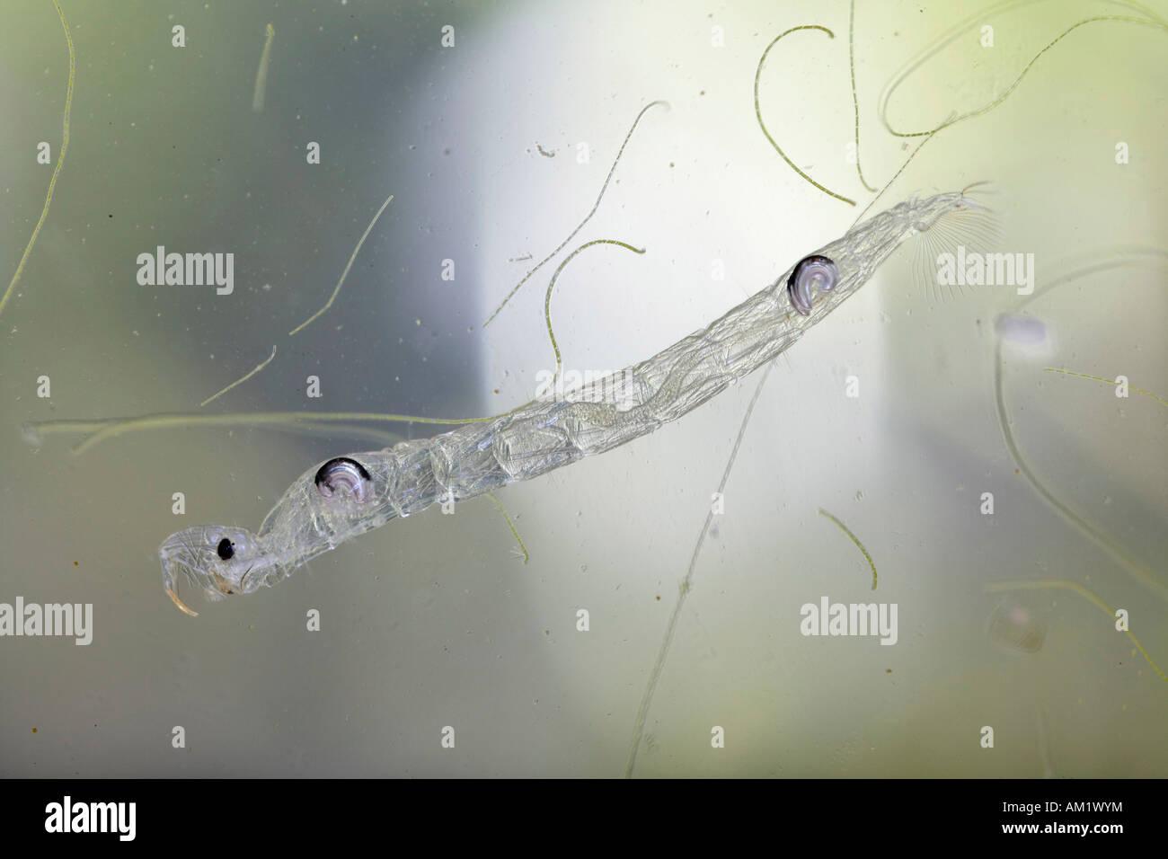 Larva of Phantom midge, Chaoborus crystallinus (Corethra plumicornis), Chaoboridae - Stock Image