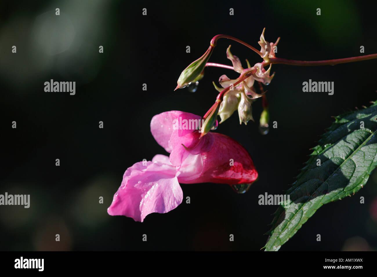 Indian Balsam, ornamental jewelweed ( Impatiens glandulifera ) Stock Photo