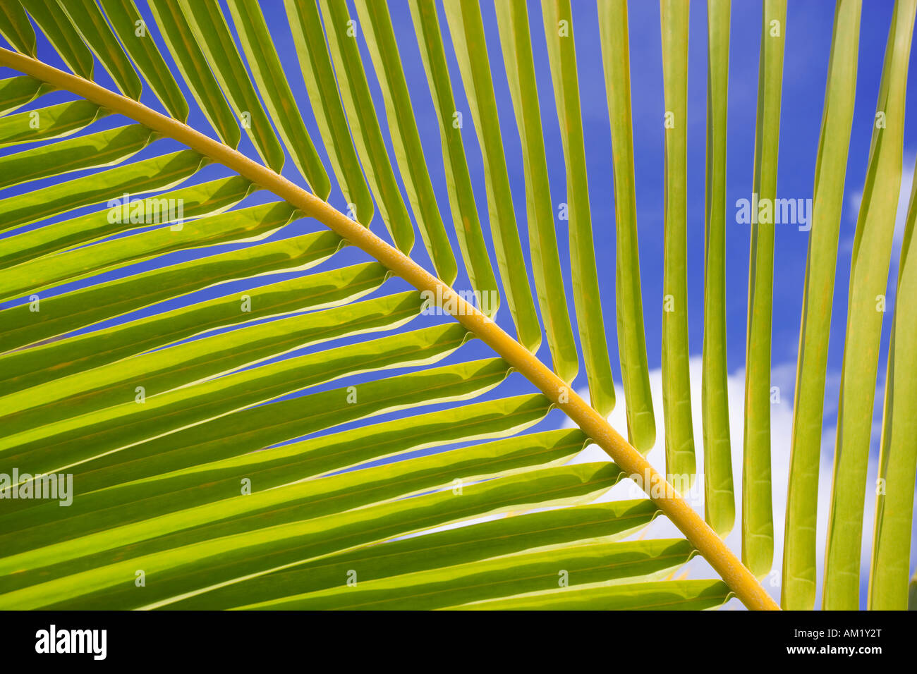 Tropical coconut palm tree leaf frond - Stock Image