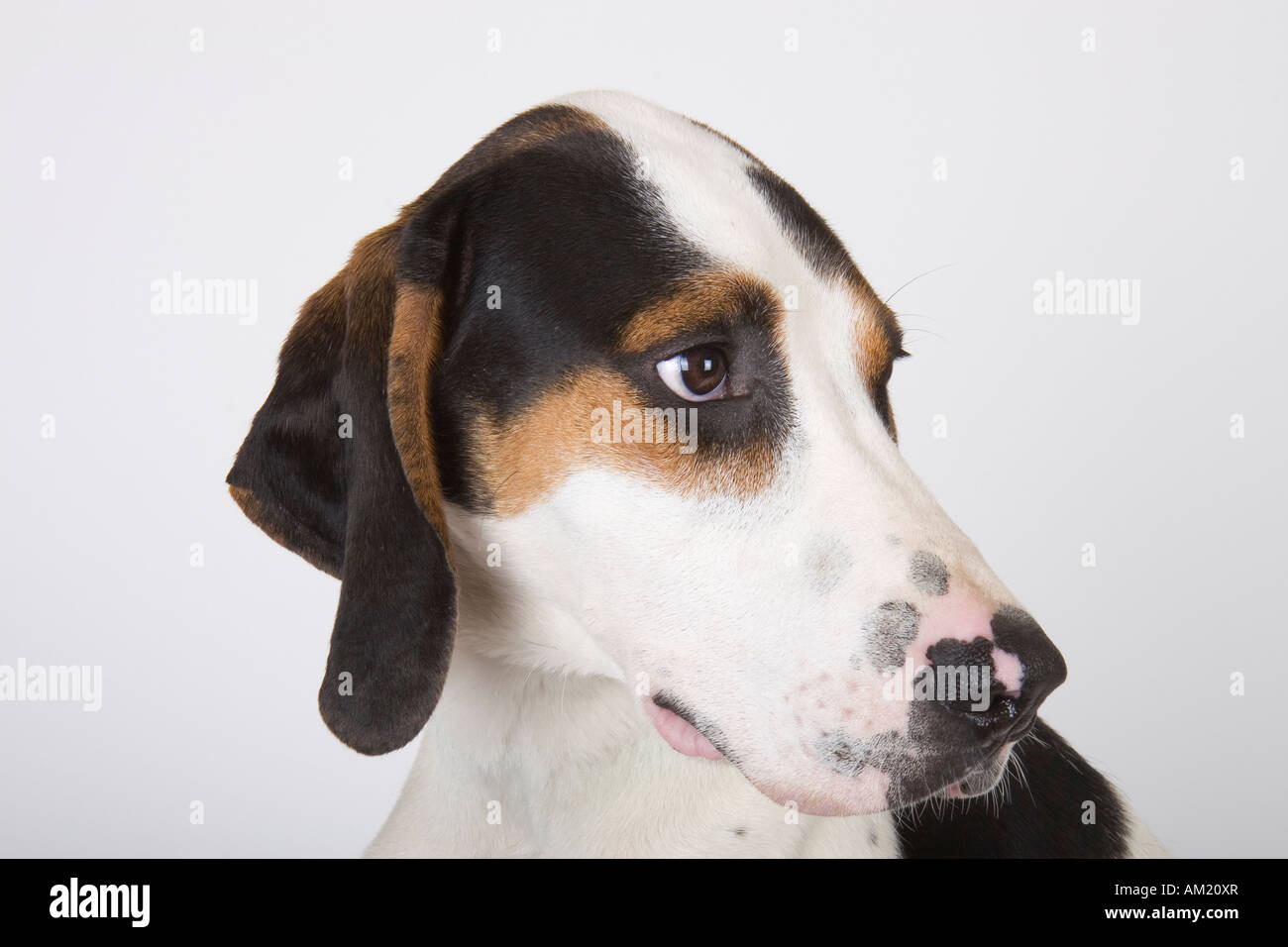 Coonhound Dog Stock Photos & Coonhound Dog Stock Images ...
