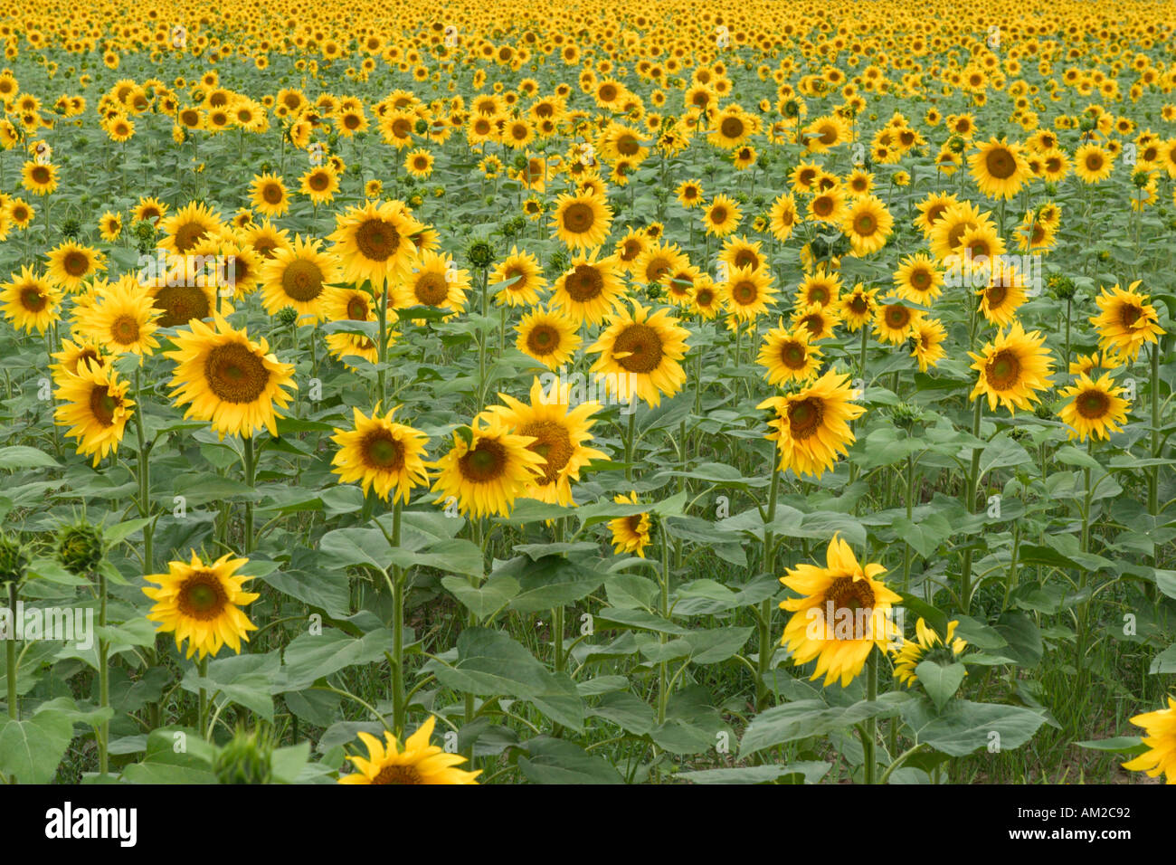 Sunflowers, Southern France - Stock Image