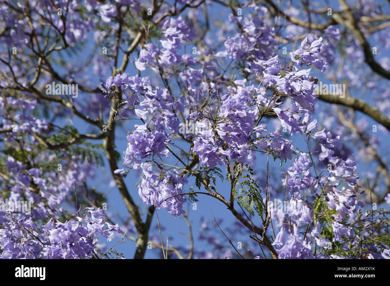 Rosewood Plant Stock Photos Rosewood Plant Stock Images Alamy