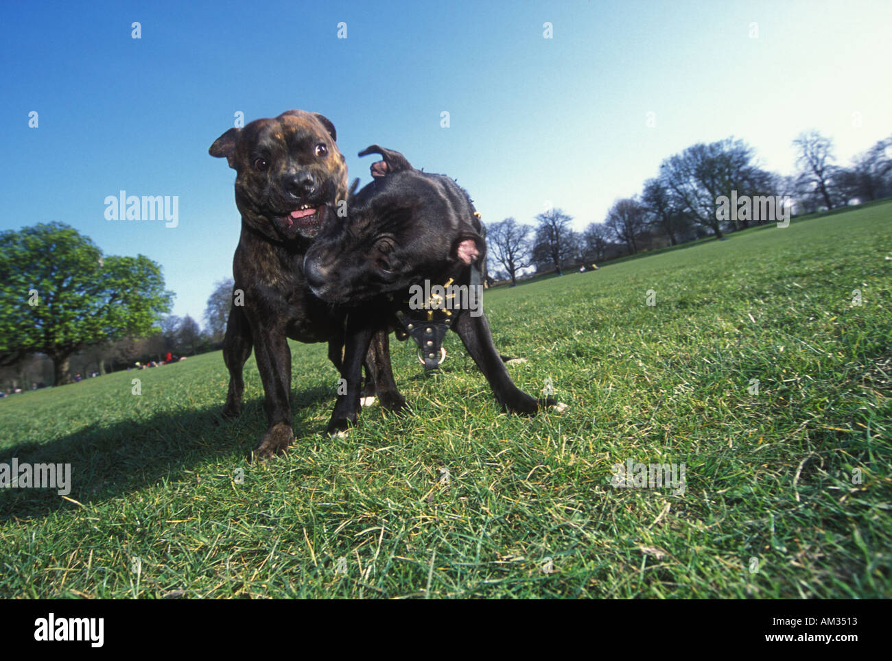 Staffordshire Pitbull Terriers tussle in the park London - Stock Image