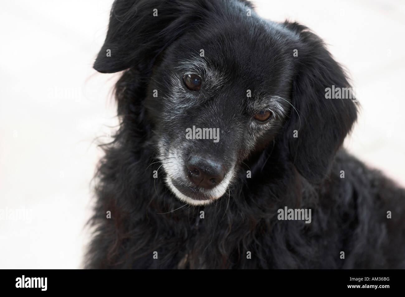 Little black dog looks unhappy, portrait, cut out Stock Photo