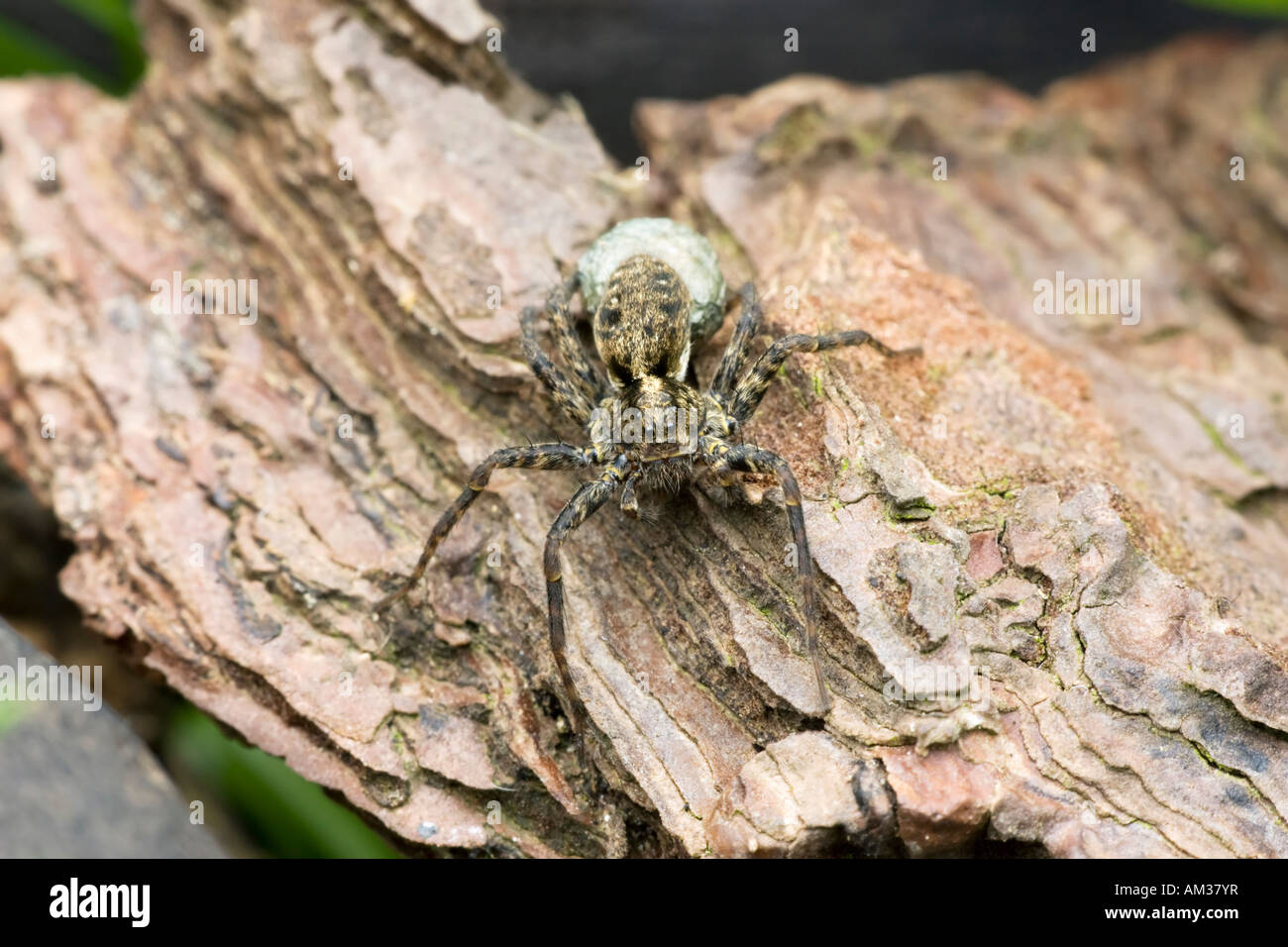 A Wolf Spider (Pardosa amentata) with an egg sac on a piece of bark. UK - Stock Image