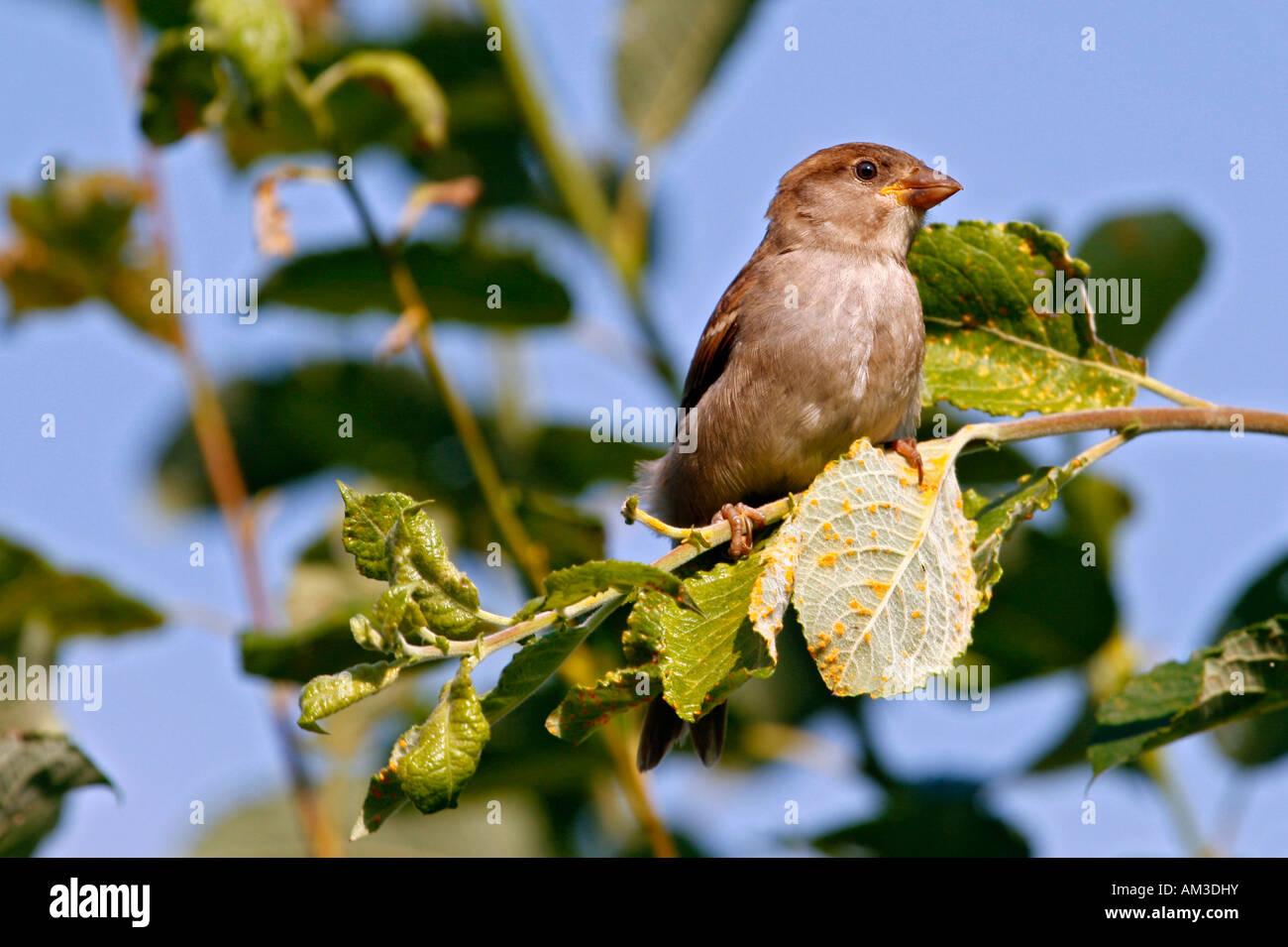 Bird, singing bird, sparrow Stock Photo