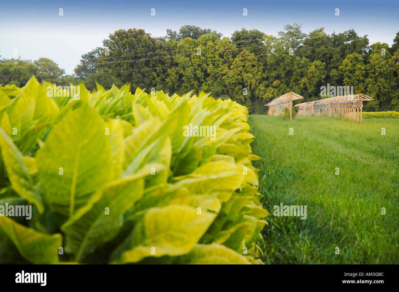 Burley tobacco - Stock Image