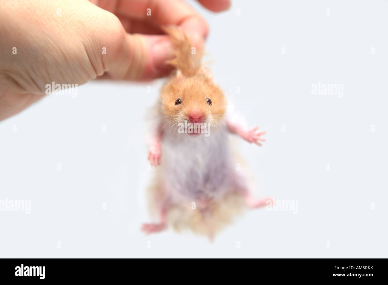 Pet Hamster Teddy Bear Hamster Stock Photos & Pet Hamster