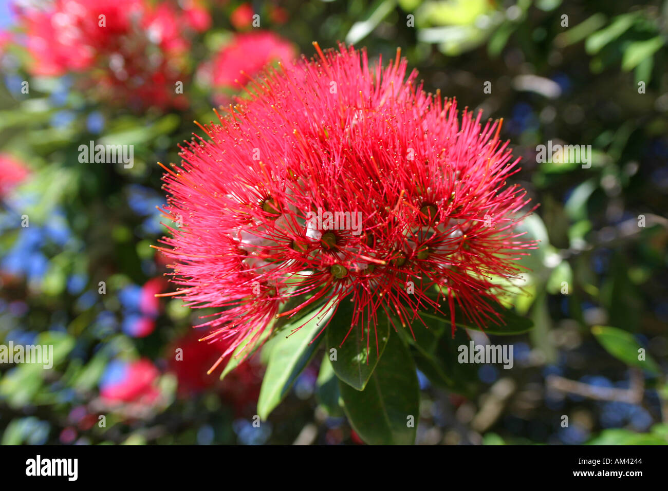 Flower Of The New Zealand Christmas Tree Pohhutukawa North Island