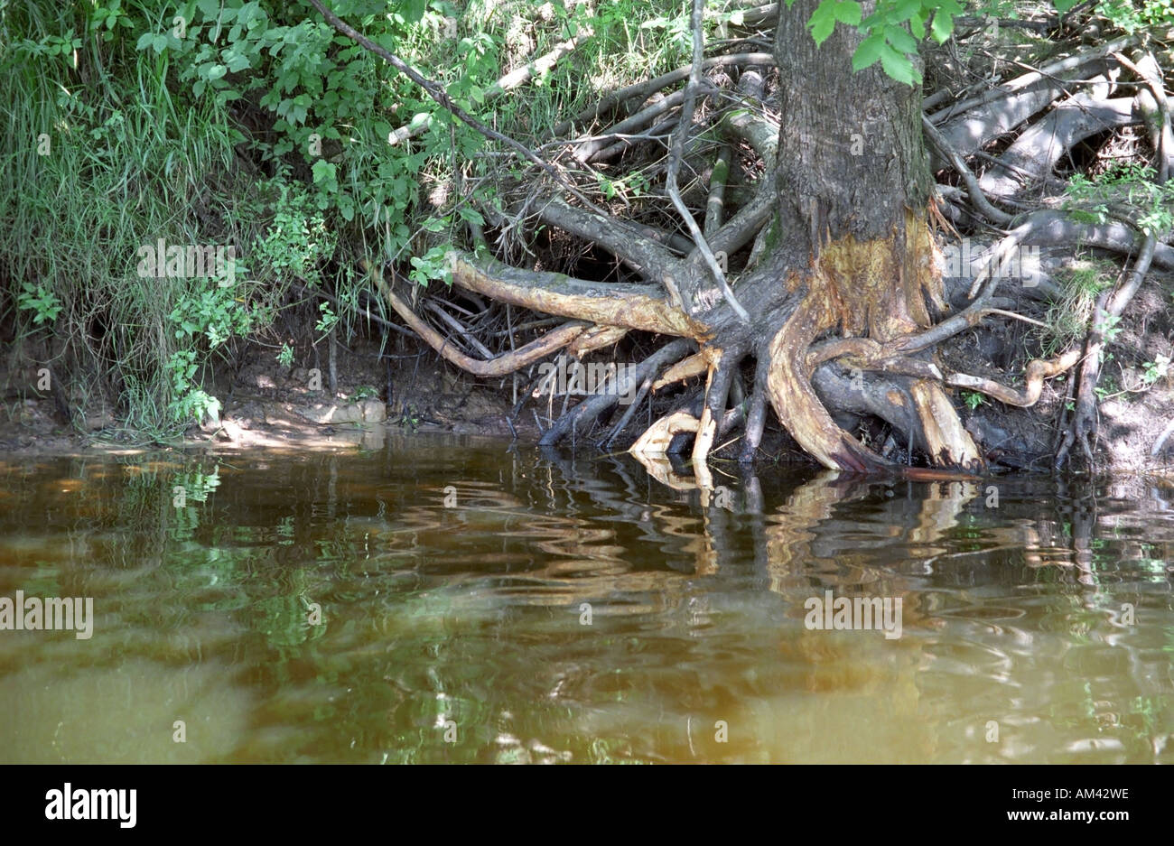 Wooden roots on Gauja riverbank in Gauja National Park Latvia - Stock Image