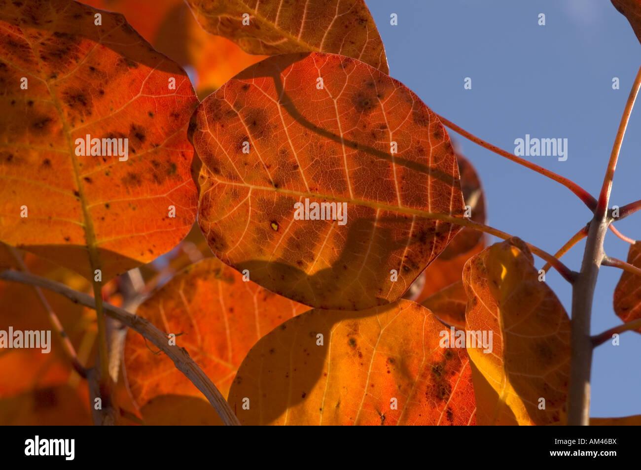 Autumn colours of Cotinus coggygria Smoke Bush. - Stock Image