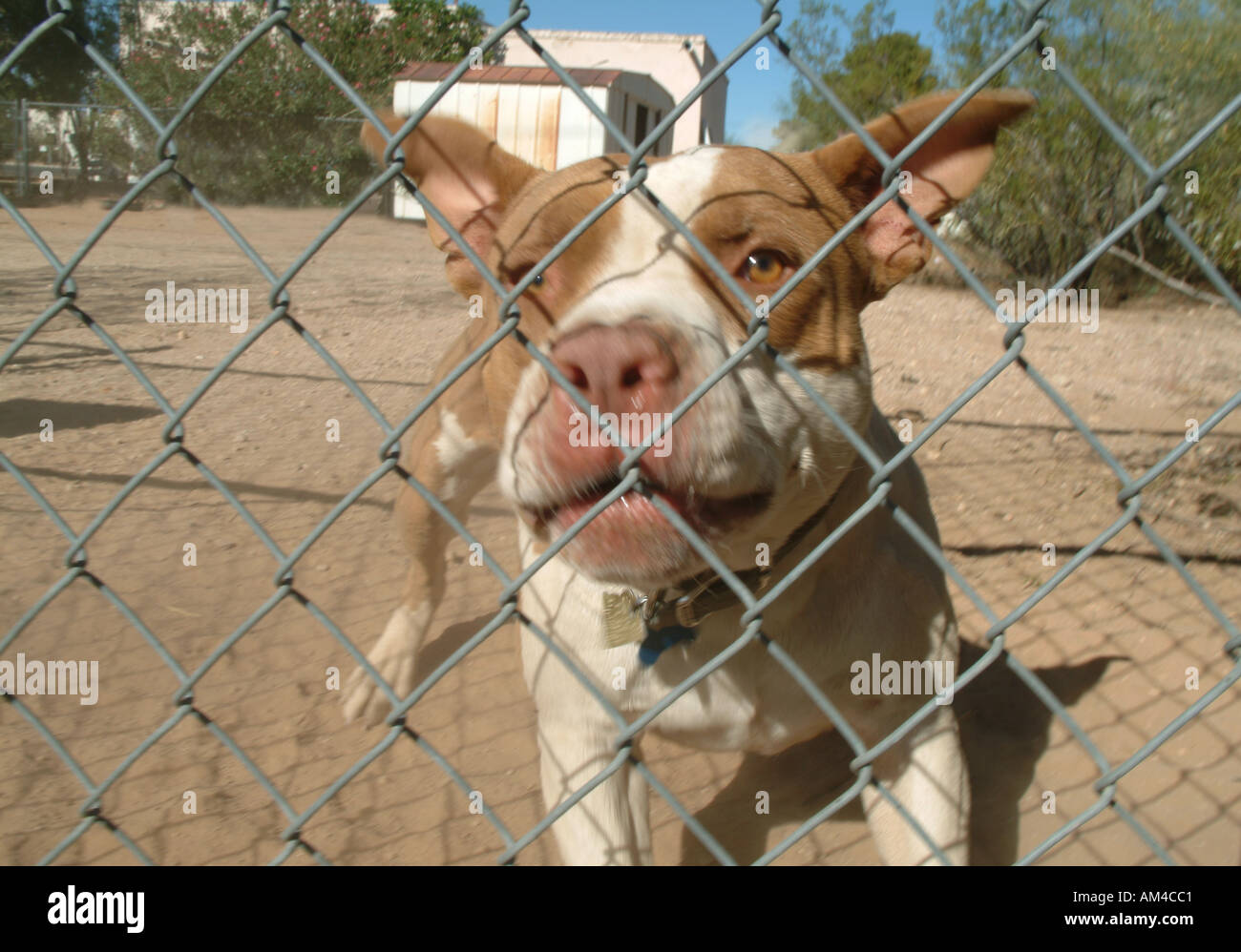 Angry dog behind a fence snarls at the viewer - Stock Image