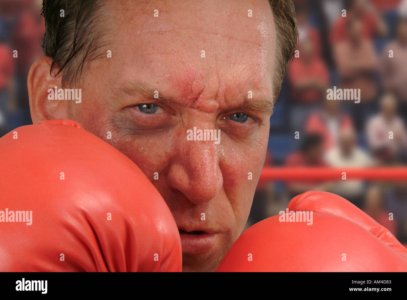 A sweaty boxer in the ring prepares to punch again - Stock Image
