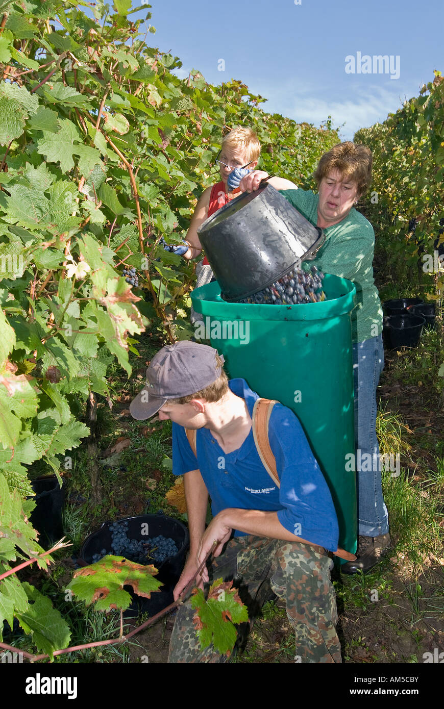 Grape gathering (Blauer Portugieser and Dornfelder) in Unfinden, Hassberge, Lower Franconia, Bavaria, Germany Stock Photo