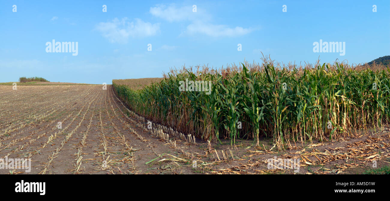 Cornfield with the harvest partly done, Hassberge, Lower Franconia, Bavaria, germany Stock Photo