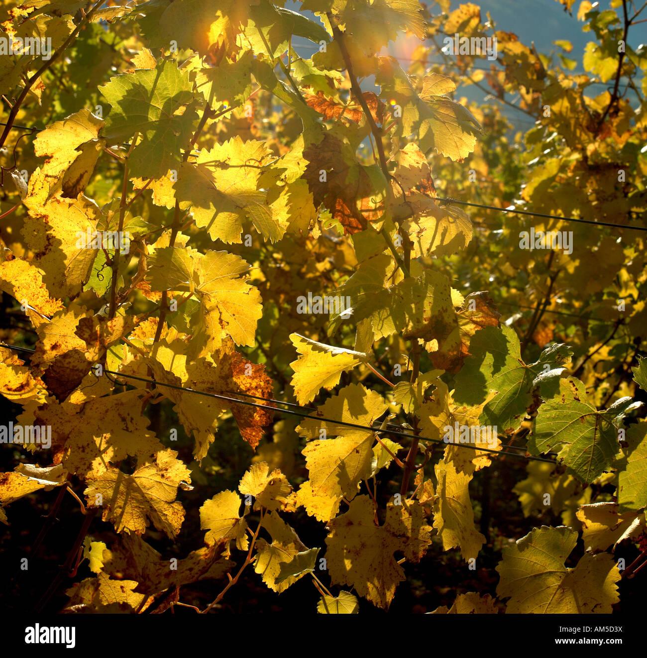 Vine leaves in back light Stock Photo