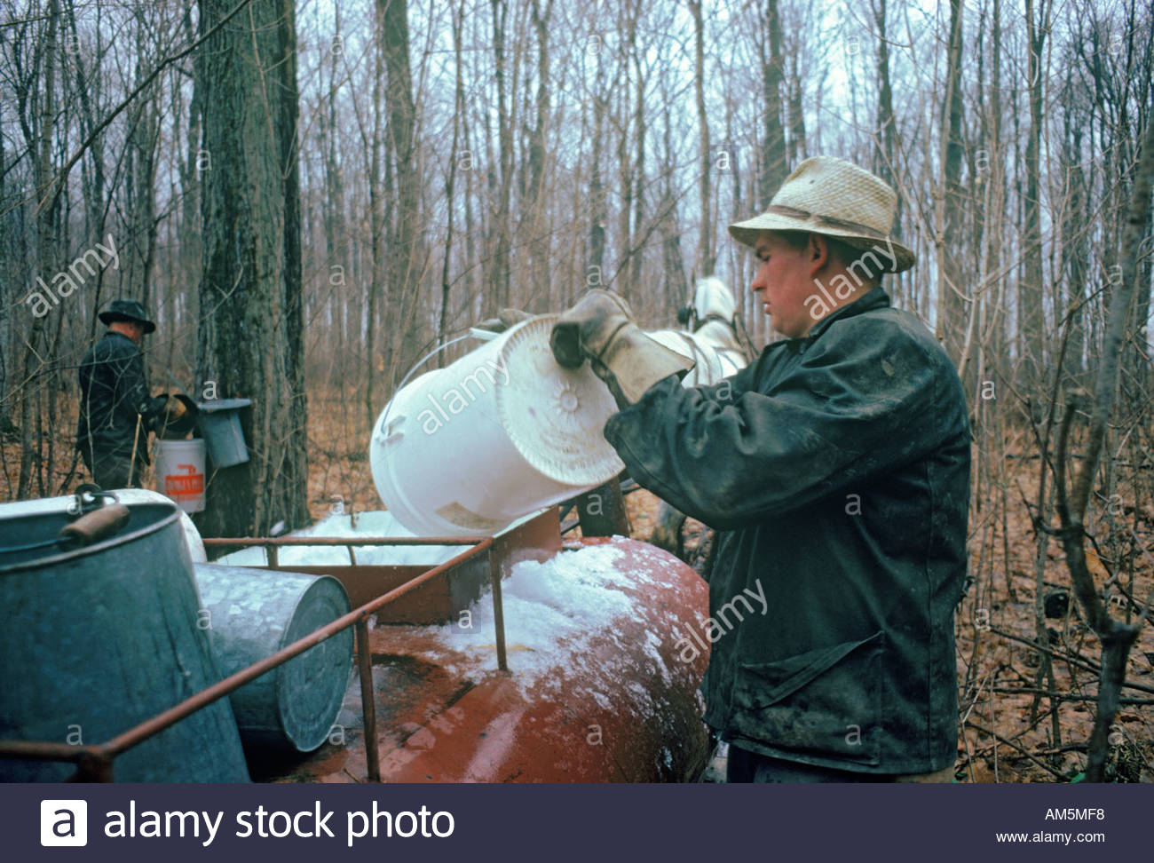 Collecting Maple sap by the old method for Maple syrup near Elmira Ontario Canada - Stock Image