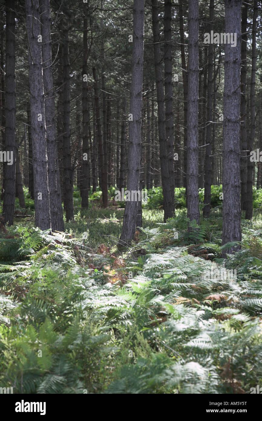Bracken and conifer trees Rendlesham Forest, Suffolk, England - Stock Image