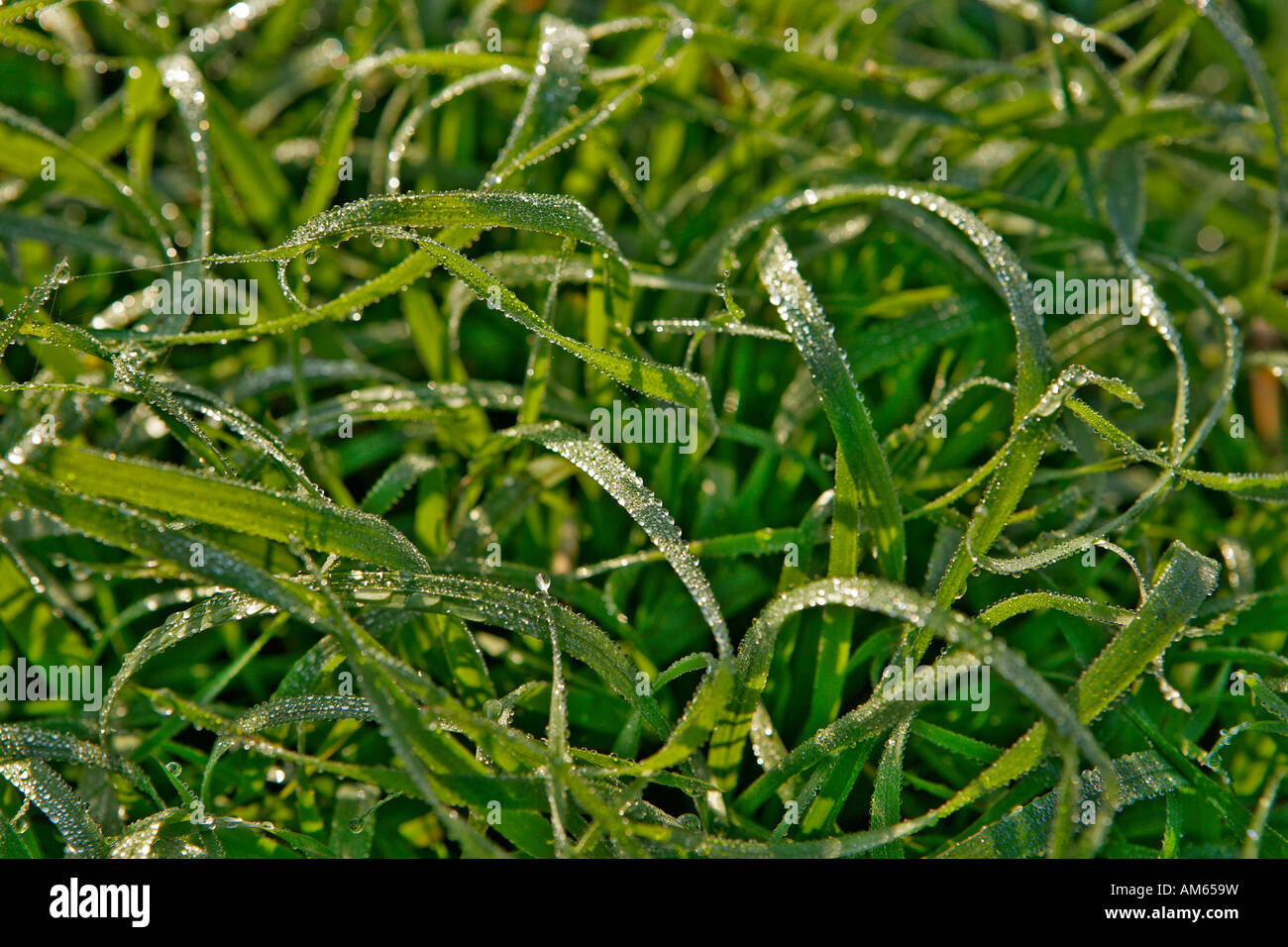 Blades of grass with dew drops - Stock Image