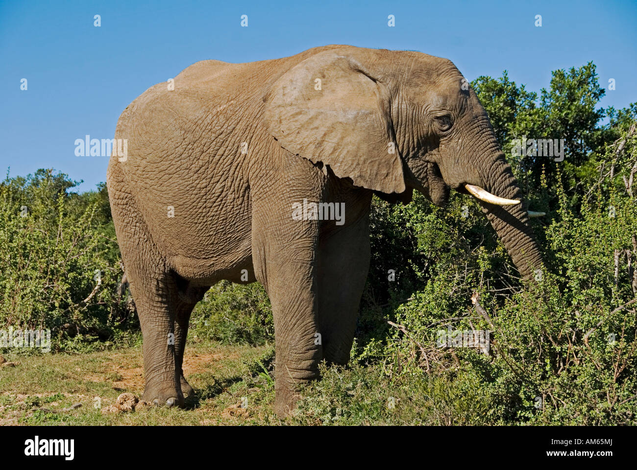 In the Addo National Park live more as three hundred Elephants-African Elephant (Loxodonta africana)in the Addo - Stock Image