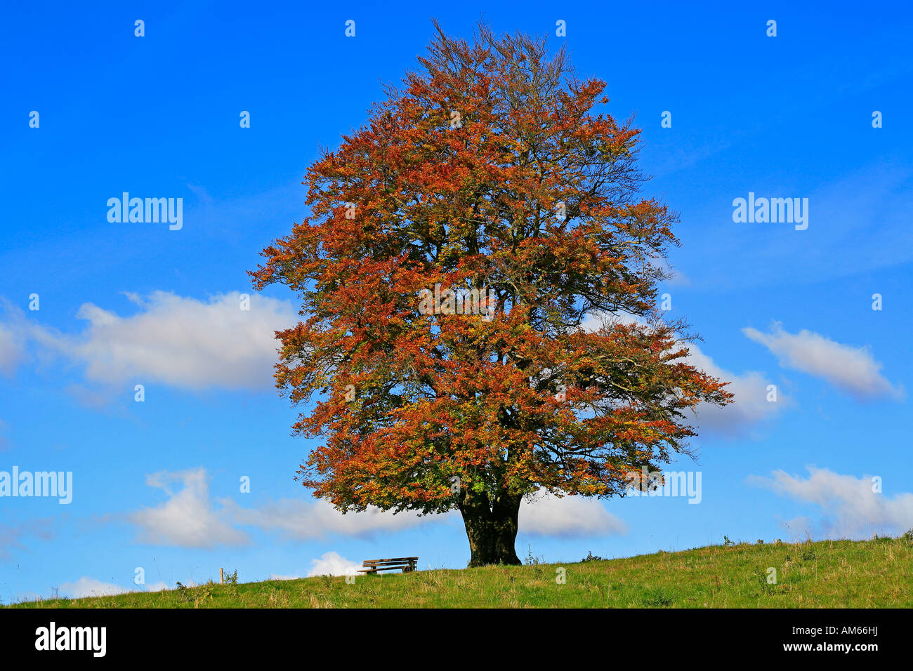 Autumnally coloured beech foliage (Fagus silvatica), Westerwald, Hesse, Germany - Stock Image