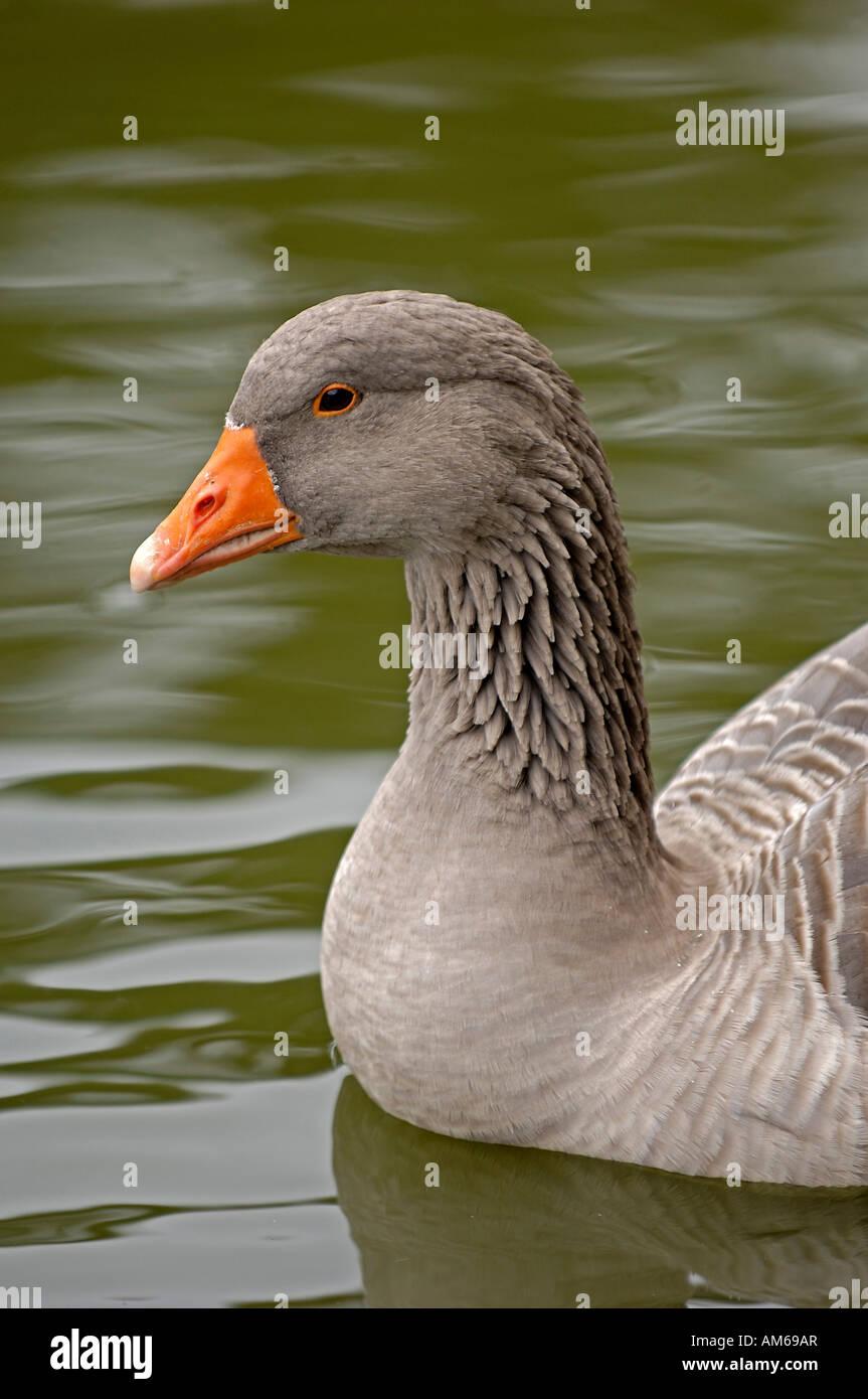 Grey goose, Anser anser Stock Photo