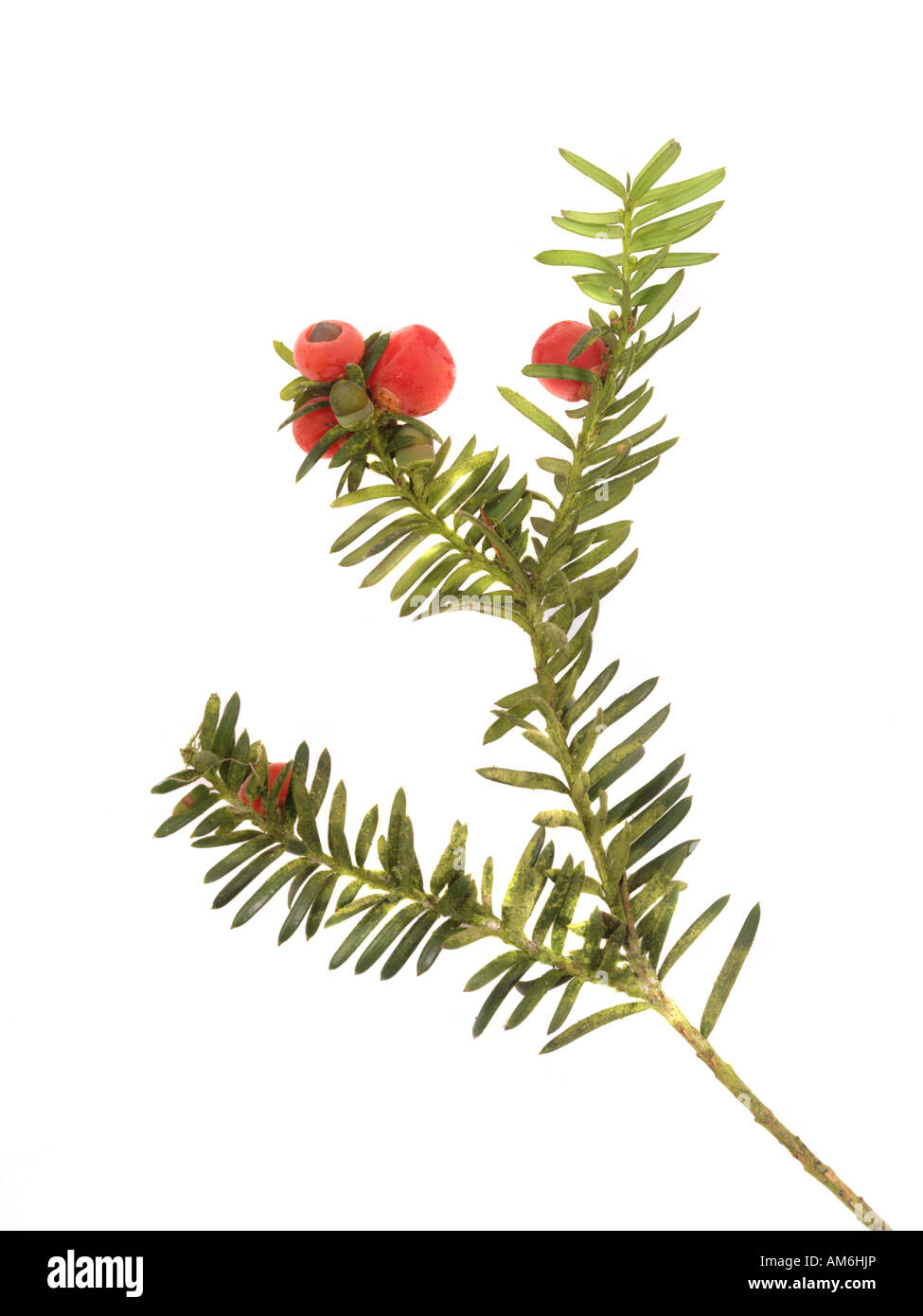 Yew Berries and leaves cut out - Stock Image