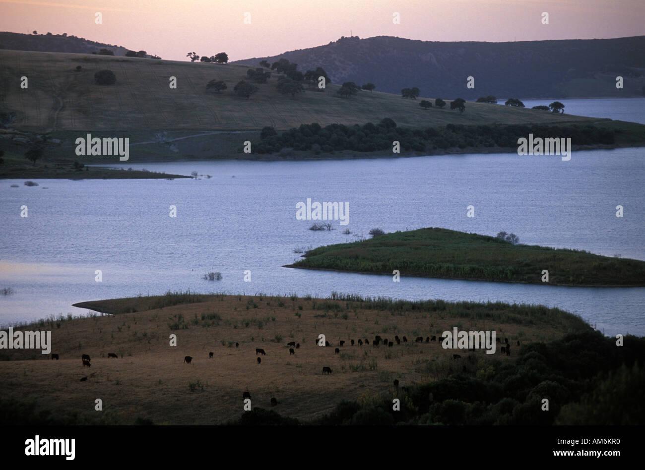 A herd of fighting bulls grazing near an artificial lake - Stock Image