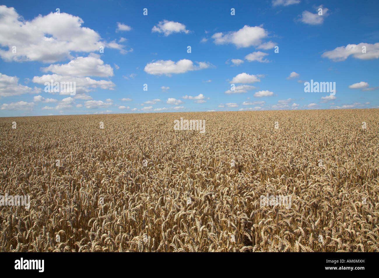 Wheat field in summer bright sunshine with blue sky and white fluffy cumulus clouds - Stock Image