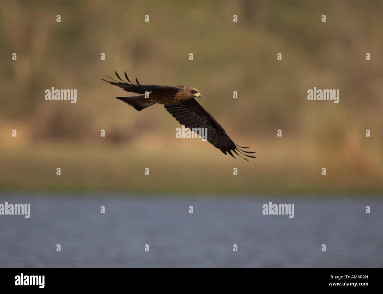 African Marsh Harrier in flight over river (Circus ranivorus) - Stock Image