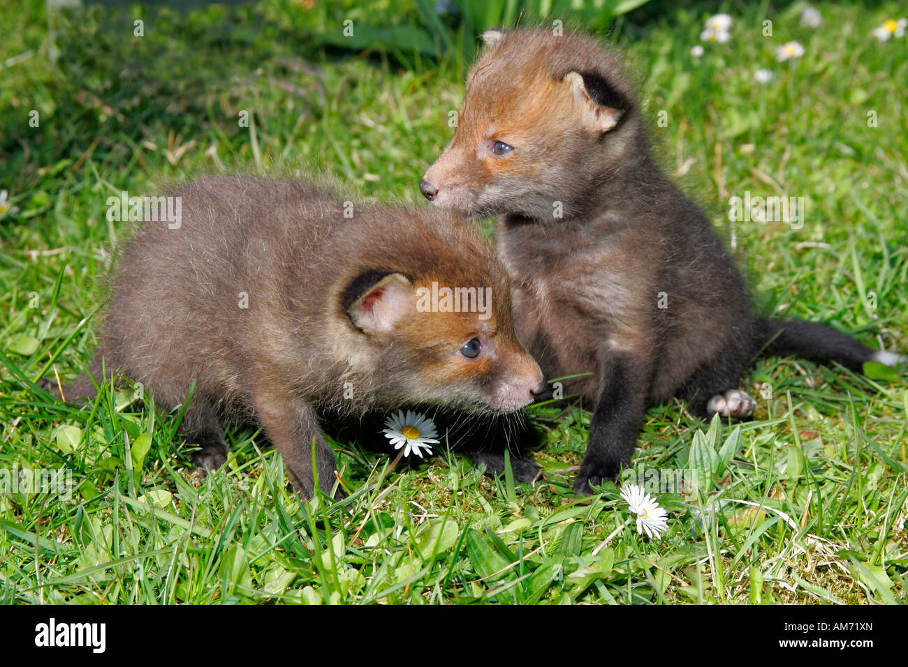 Red fox – pups – couple of young red foxes (Vulpes vulpes) Stock Photo