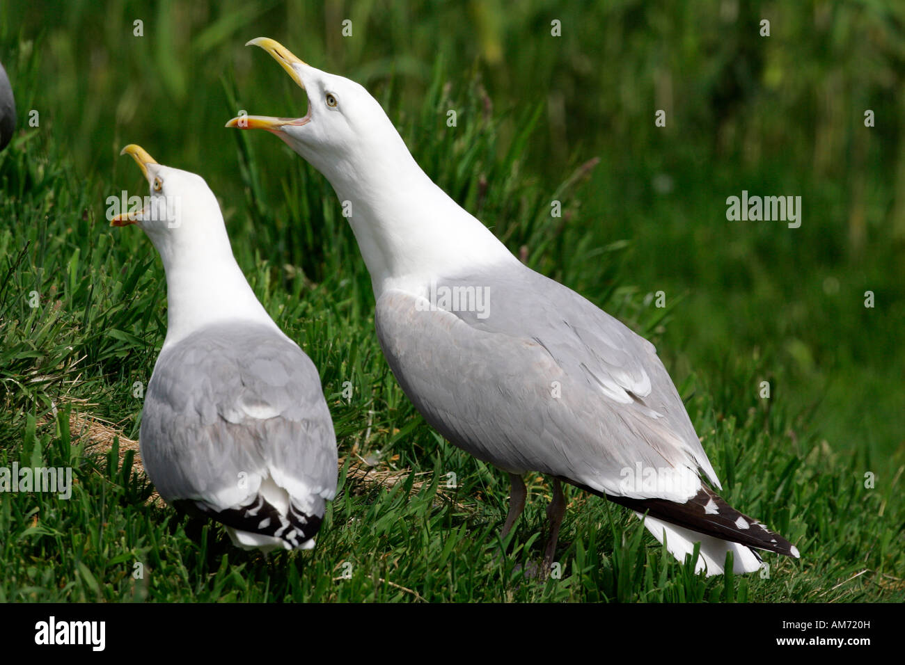 Herring gull - pair of screaming herring gulls (Larus argentatus) Stock Photo